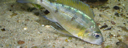 Ophthalmotilapia nasuta Nangu female